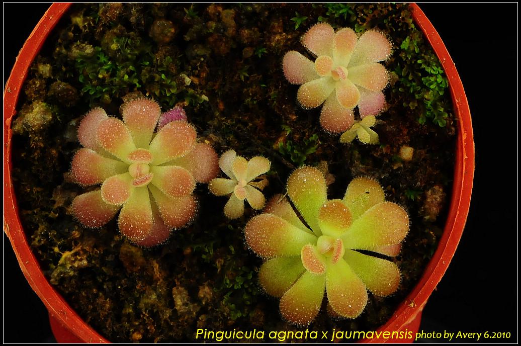 DSC_3400_nEO_IMG_Pinguicula_agnata_x_jaumavensis.jpg