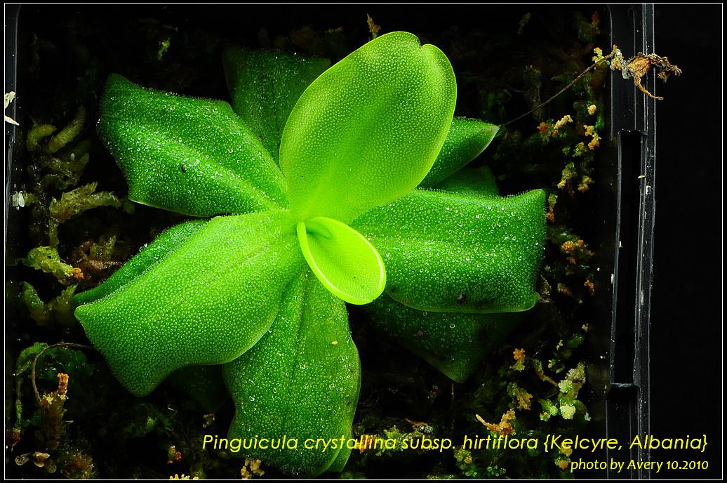 DSC_4527_nEO_IMG_Pinguicula_crystallina_subsp_hirtiflora_Kelcyre_Albania.jpg