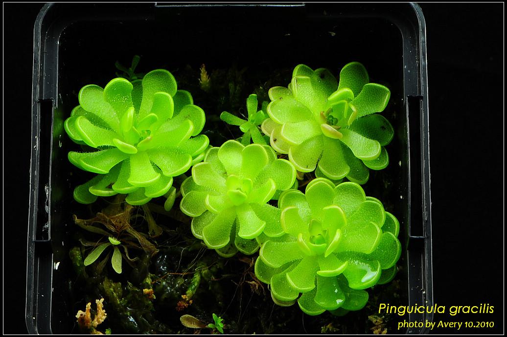 DSC_4558_nEO_IMG_Pinguicula_gracilis.jpg