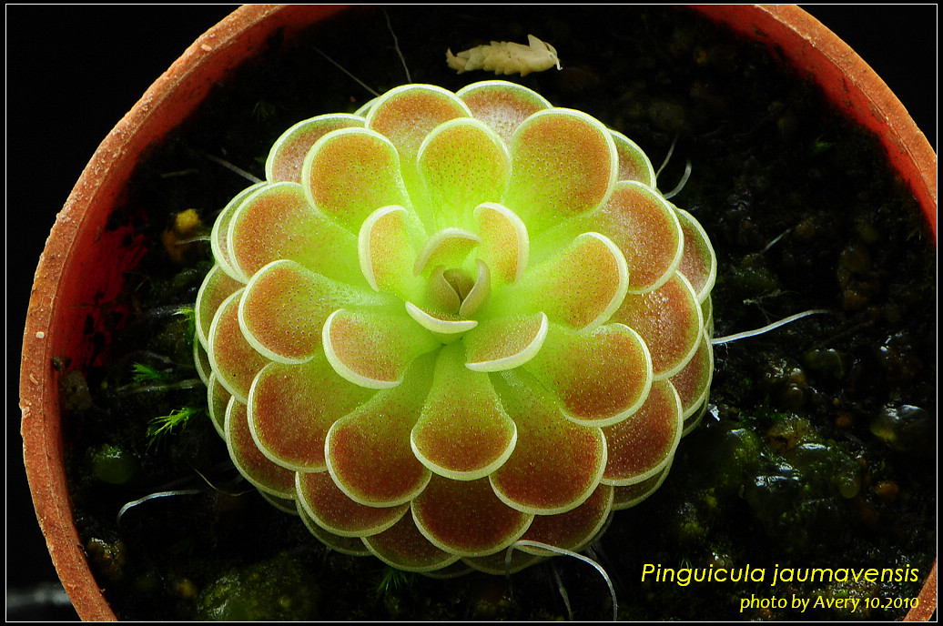 DSC_4583_nEO_IMG_Pinguicula_jaumavensis.jpg