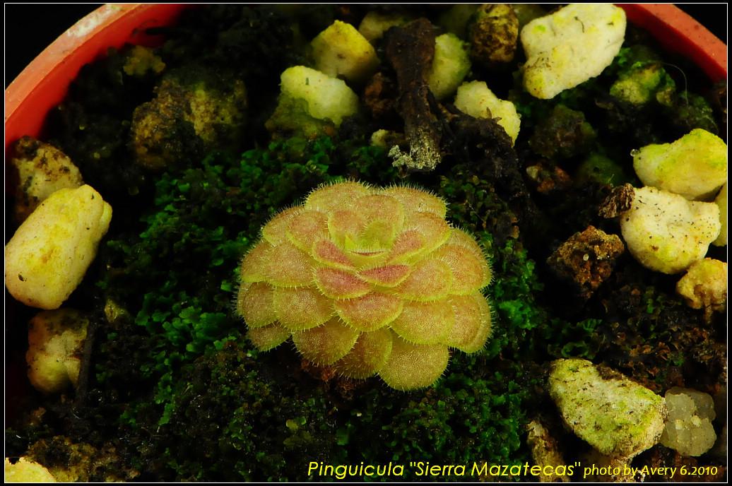DSC_3456_nEO_IMG_Pinguicula_Sierra_Mazatecas.jpg