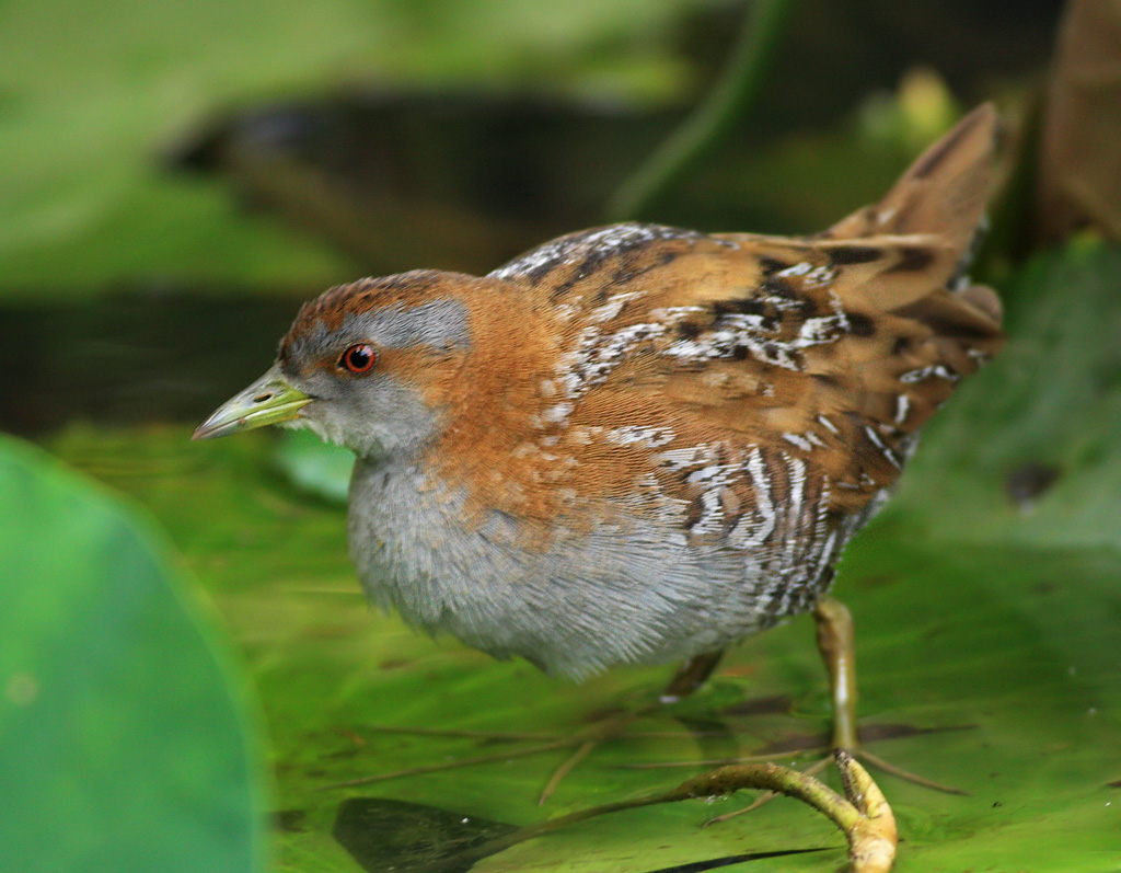 Baillon'S Crake - Free HD Wallpapers for Desktop and ...